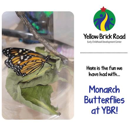 monarch butterflies at ybr